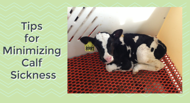 minimizing calf sickness