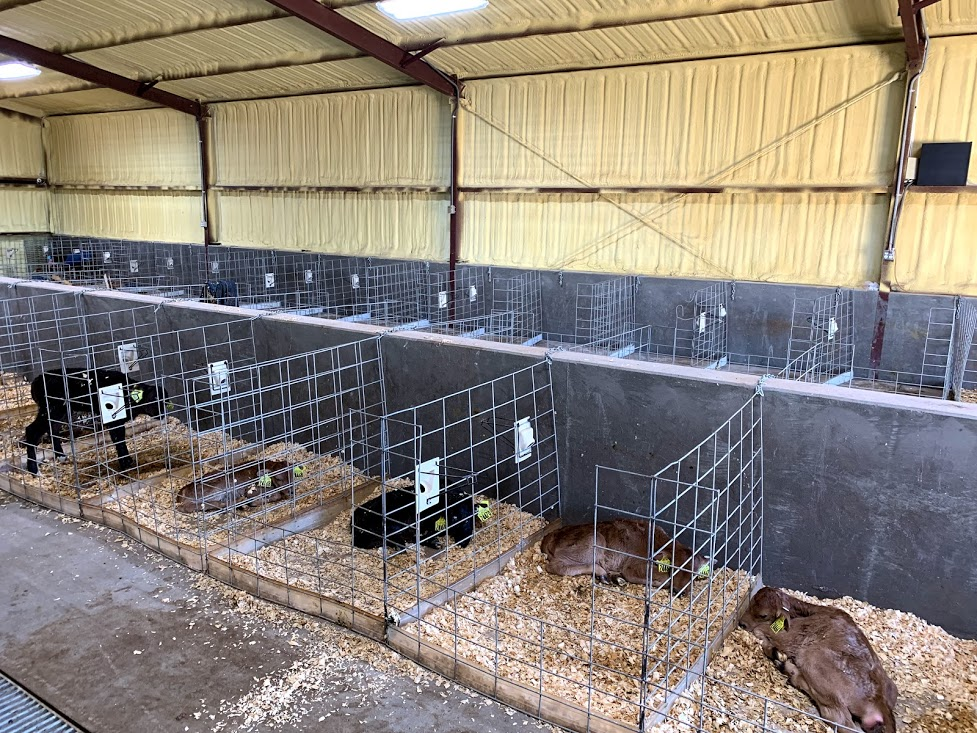 Prevent calves dying at birth begins in the maternity area