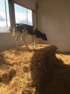 Prevent Calf Sickness with Colostrum Management by Golden Calf Company