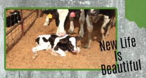 How to take care of newborn calves the right way